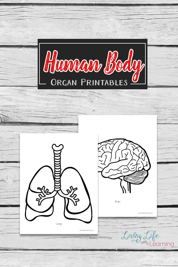 Human Body Organs Printable Coloring Pages
