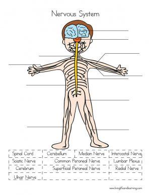 nervous system2