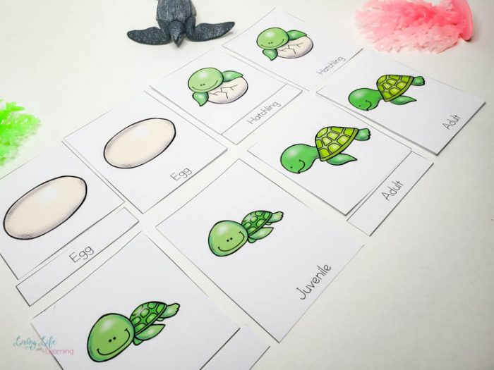 Sea Turtle Life Cycle Worksheets