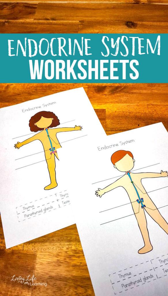 Endrocrine System Worksheets