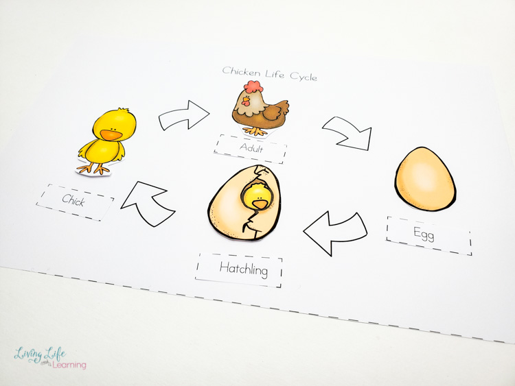 Little Learners print and go activity kit chicken life cycle