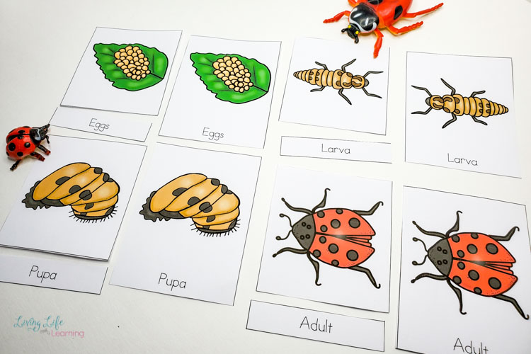 Little Learners print and go activity kit ladybug life cycle
