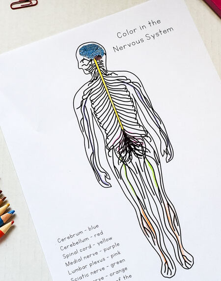 Curious Scientist Science Study: Nervous System