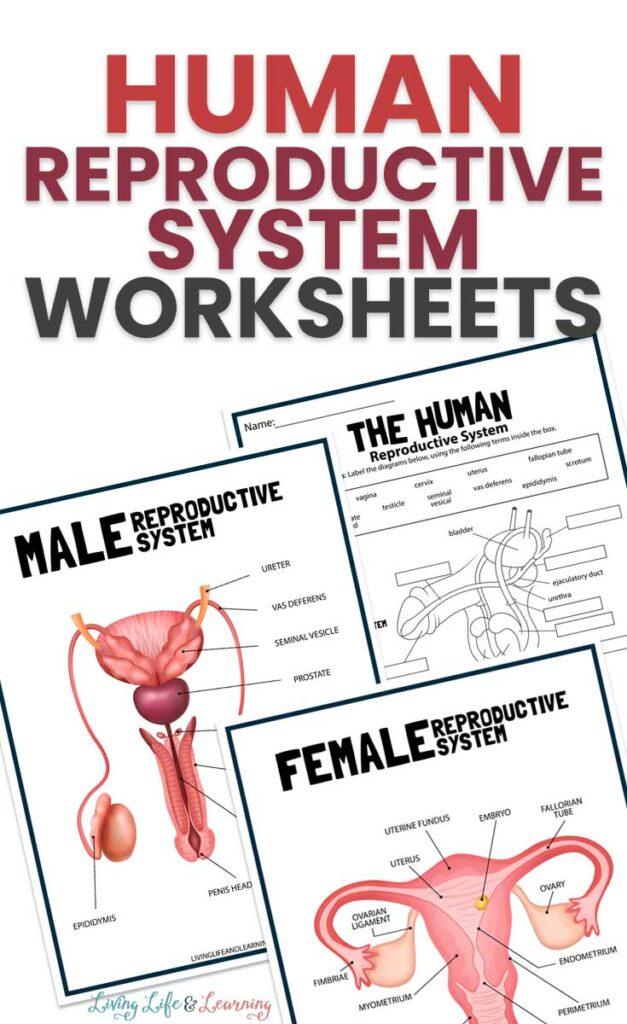 Human Reproductive System Worksheet